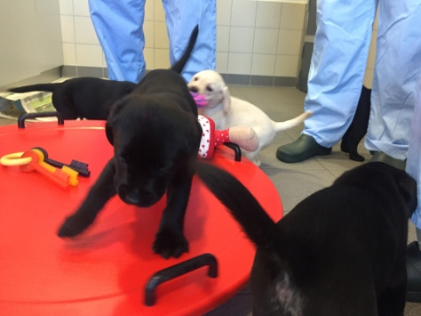 Guide dog puppy helper experience