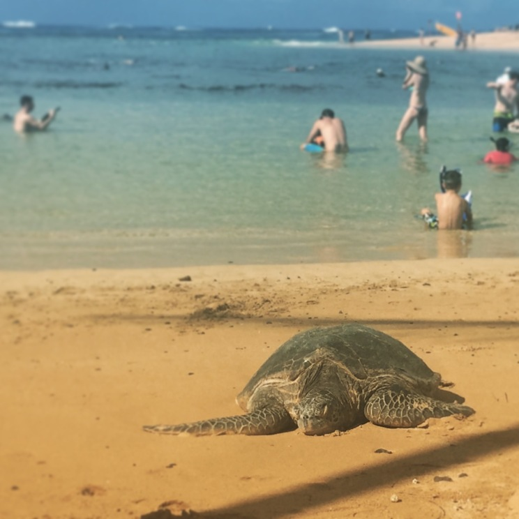 Sea turtle in Po'ipu, Kaua'i