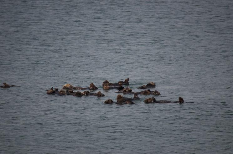 Sea Otters at Moss Landing