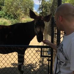 Okapi at San Diego Zoo Safari Park, California Road Trip, San Diego Visit, Things to do in San Diego