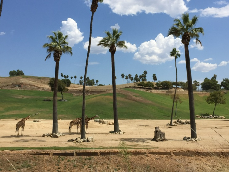 Giraffes in Africa Woods at San Diego Zoo Safari Park, California Road Trip, San Diego Visit, Things to do in San Diego