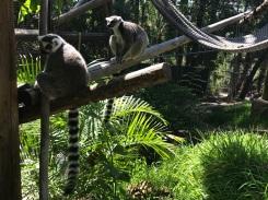Lemurs at the San Diego Zoo Safari Park, California Road Trip, San Diego Visit, Things to do in San Diego