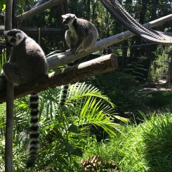 Lemurs at the San Diego Zoo Safari Park, California Road Trip, San Diego Visit, Things to do in San Diego